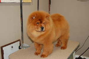 Darker colored male at 4 months in the grooming room